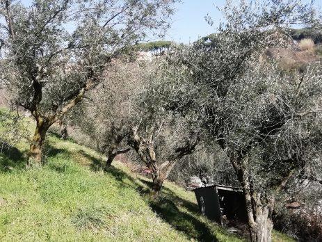Vendesi terreno con piante di ulivo, Grottaferrata, Roma